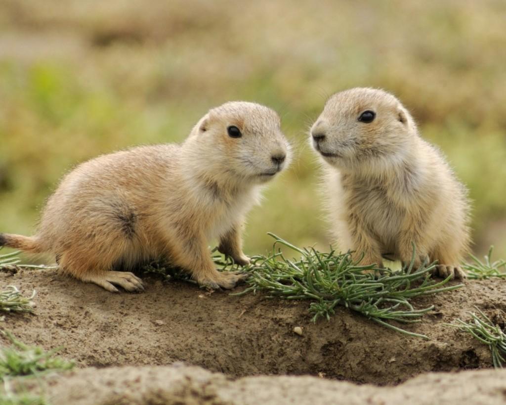 Prairie-Dogs-Baby-Animals-2048x2560